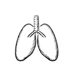 Sketch of human lungs with trachea vector image