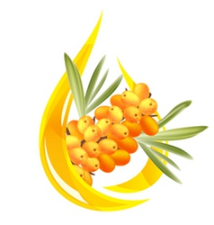 buckthorn oil vector image