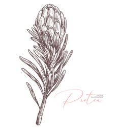 King protea sketch isolated vector