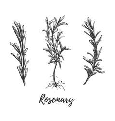 botanical hand drawing rosemary vector image