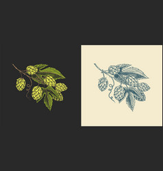 Hops and barley malt beer engraved vintage set vector
