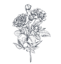 hand drawn rose flowers branch isolated on white vector image