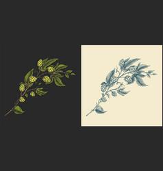 hops and barley malt beer engraved vintage set vector image