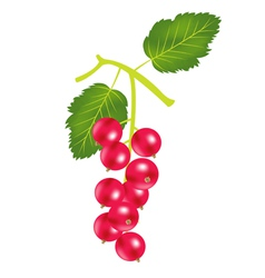 red berry vector image