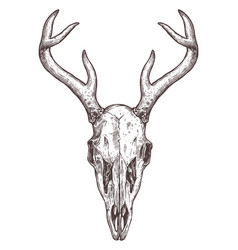 sketch deer skull boho hand drawn vector image