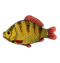 crucian freshwater fish vector image