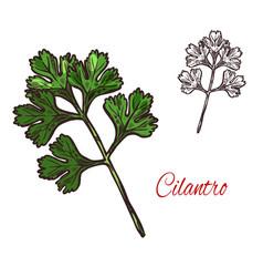 Coriander or cilantro plant sketch of spice herb vector
