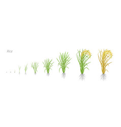 Growth stages of rice plant the life cycle rice vector