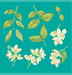 jasmine flower branch realistic graphic set vector image