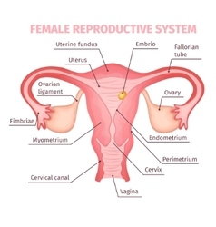 Female Reproductive System Scientific Template vector image