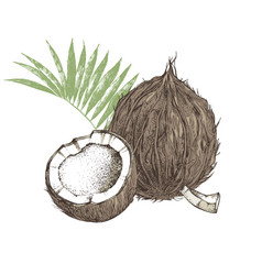 Hand drawn coconut with half and leaves vector