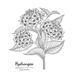 Hydrangea flower and leaf hand drawn botanical vector