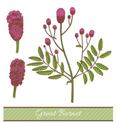 Colored great burnet in hand drawn style vector