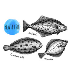 ink sketch flatfish vector image