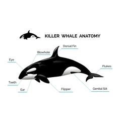 Killer Whale Anatomy vector image