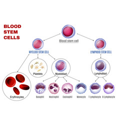Blood stem cells vector