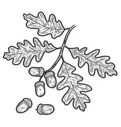 Acorn on an oak branch sketch scratch board vector