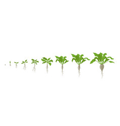 Sugar beet plant growth stages vector
