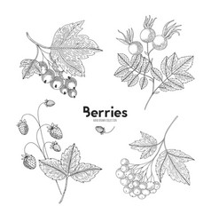 berries isolated on white background vector image