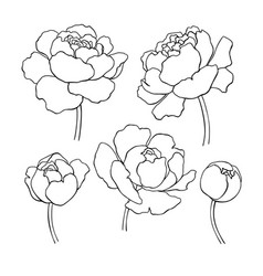 peony line drawing hand drawn outline vector image