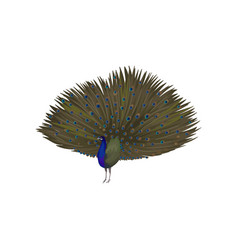 Detailed icon of peacock with plumage out vector