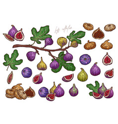 Dry and fresh figs hand drawn vector