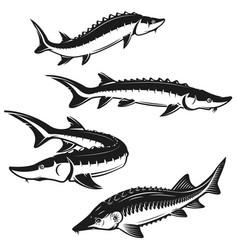 set of sturgeon fish on white background design vector image
