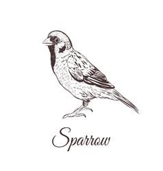 sparrow sketch vector image