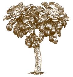 engraving antique aeonium vector image