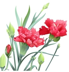 Bouquet of carnation flowers isolated on white vector image vector image