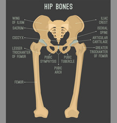 Human hip bones vector