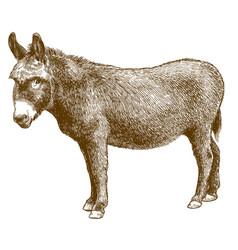Engraving burro donkey vector