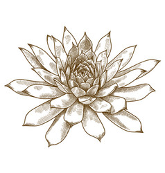 Engraving echeveria pulidonis vector
