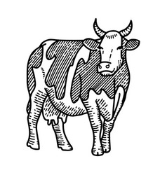 engraving hand drawn spotted cow isolated on vector image