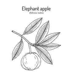 Elephant apple dillenia indica edible plant vector