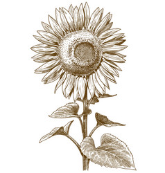 Engraving antique sunflower vector