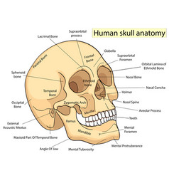 Medical education chart of biology human skull vector