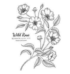 wild rose flower and leaf hand drawn botanical vector image