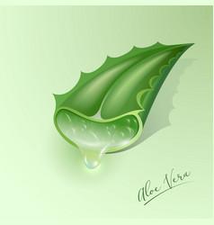 Aloe vera green plant cut leaf juice drop vector