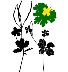The plant is celandine monochrome vector
