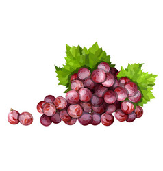 ripe red grape pink bunch with leaves vector image