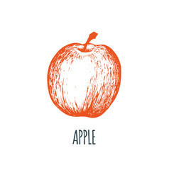 hand drawn apple on white background vector image