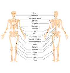 Human anatomical skeleton infographic front view vector