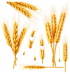 Realistic bunch of wheat oats or barley isolated vector