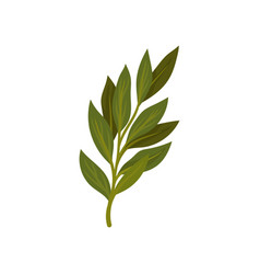 Branch of green bay leaves aromatic seasoning for vector