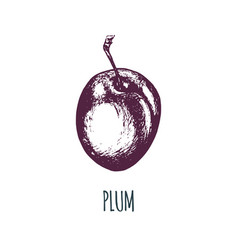 hand drawn plum on white background vector image