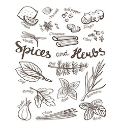 Spice and herbs collectionHand drawn sketch icons vector image