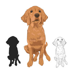Golden retriever puppy isolated on white vector