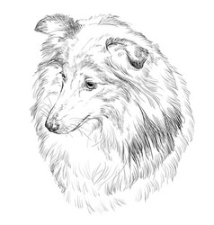sheltie hand drawing portrait vector image