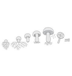 life cycle mushrooms stages mushroom vector image